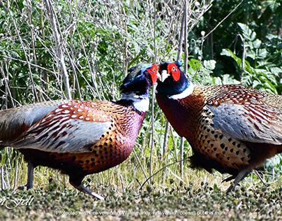 Establishing Dominance- Pheasants