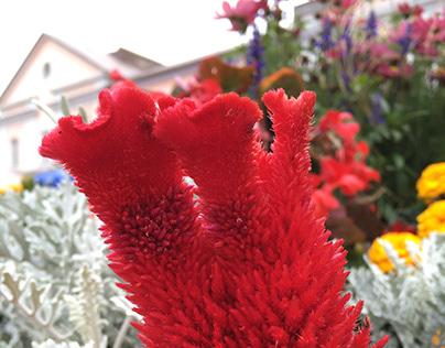 Unidentified flower in Estonia. Mobileography.