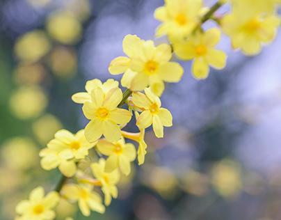 Botanical photo of jasminum