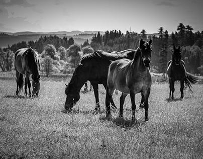 Horses of Bohemia