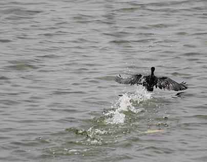 Indian Cormorant In Motion
