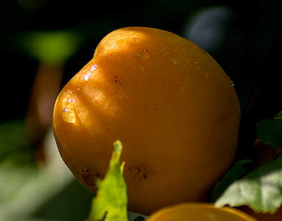 Apricots in the making - Part VIII (finally ripe)