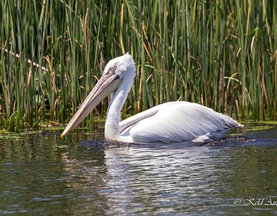 DONAU DELTA ROMANIA Dalmatian pelican