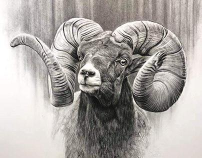Animal Drawing Sheep