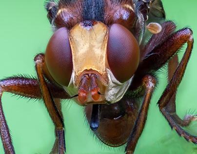 Nature / Case 34: Sicus ferrugineus