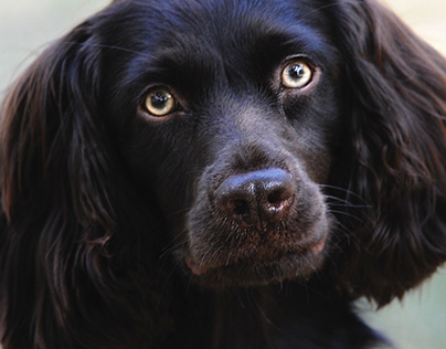 Reesie Pup – Boykin