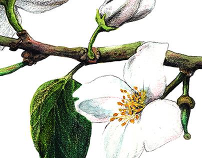Jasmine flowers - Floral illustration