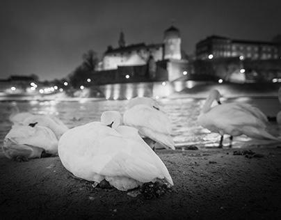 Swans near Wawel Castle in Krakow