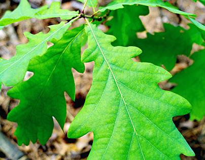 Oak leaves of last June.