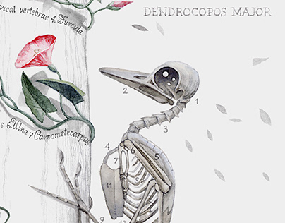 Bones ~ Woodpecker [Dendrocopos Major]