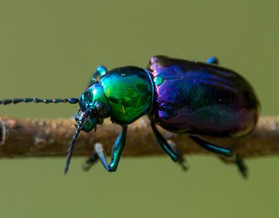 Chrysochares asiaticus