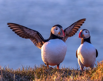 The Puffin Project