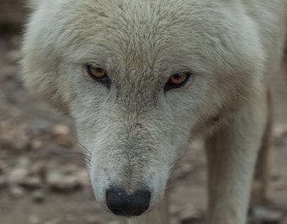 Wolves, Belgrade zoo, february 2018