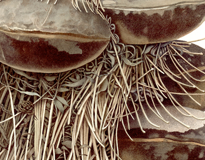 Banksia serrata seedpod