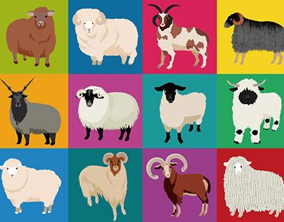 12 types of sheep