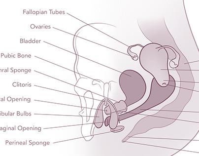 Genital Anatomy Illustrations