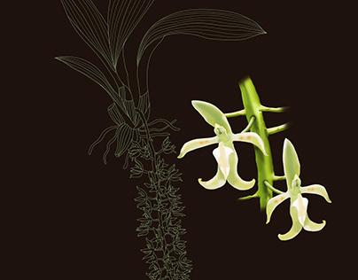 Notylia trisepala