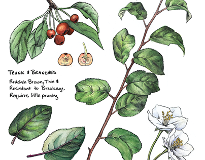 Scientific Illustration: Sargent Crabapple
