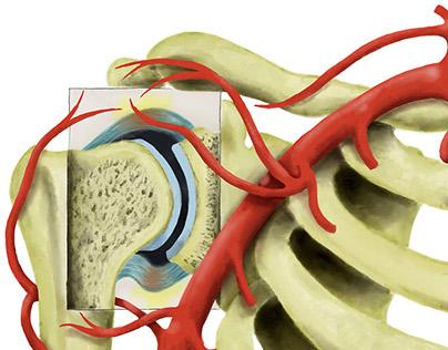 Shoulder Vascularization