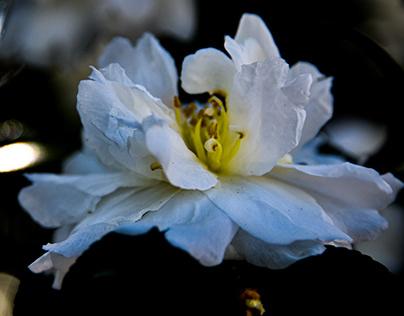 Camellia Season