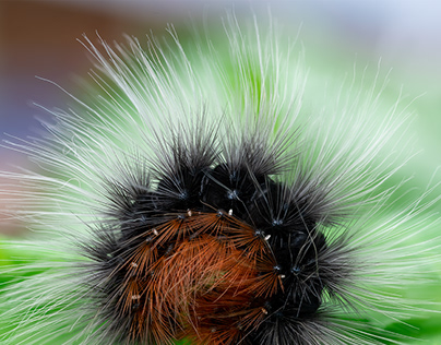 Photo Series: Nature / Case 24: Tiger Moth Caterpillar