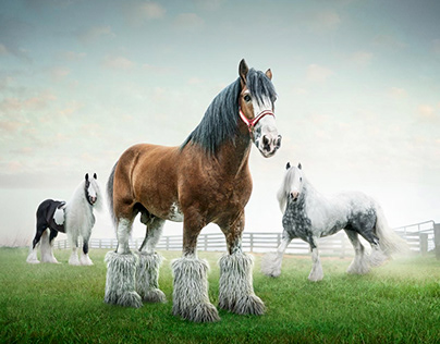 Clydesdale Randy