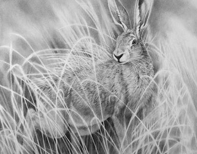 Fauna & Flora: HARE