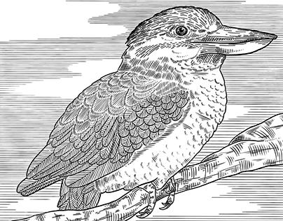 Birds scientific illustration
