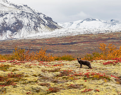 Arctic Fox - all story - Iceland 2020