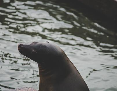 San Francisco, CA: Sea Lions of Pier 39