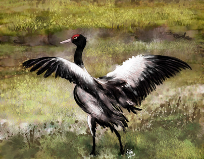 Black Necked Crane at Ladakh
