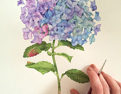 Hydrangea Flower with watercolor
