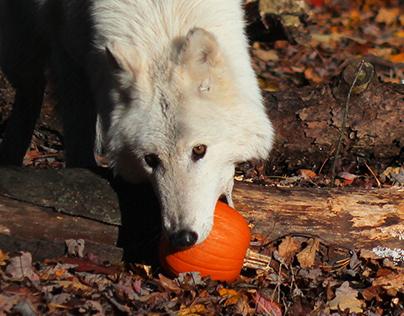 Pumpkins at the Lakota Preservation