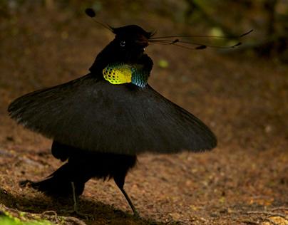 La Paradisier : Drôle D'oiseaux