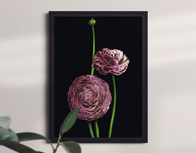 Ranunculuses on black, a poster.