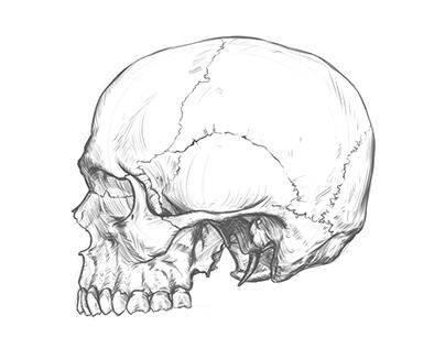 Cranium sketch and time-lapse video.