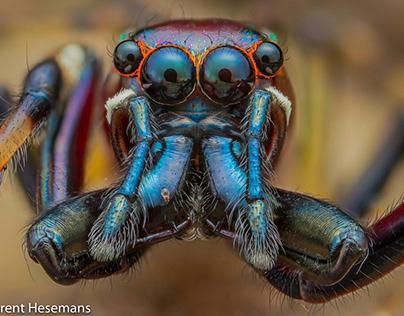 Sidusa sp. Jumping Spider Portrait