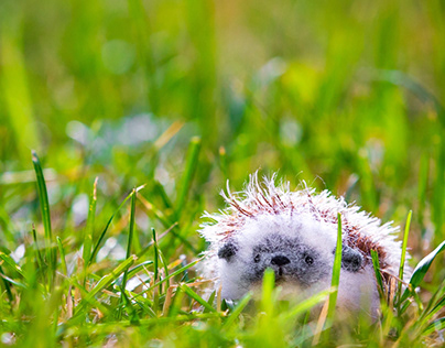 Walk with hedgehogs