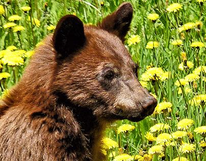 Dandelion Bear