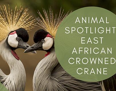 Animal Spotlight: East African Crowned Crane