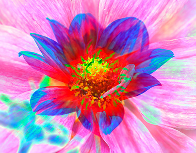 Colorful Dahlia, abstract