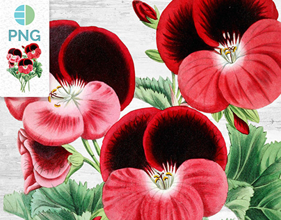 Geranium Flower Clipart