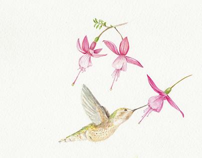 Fuchsia e Colibrì