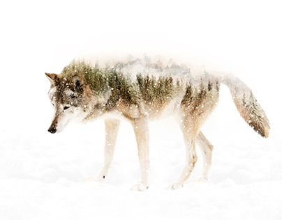 Double Exposure Wolf and Silverback