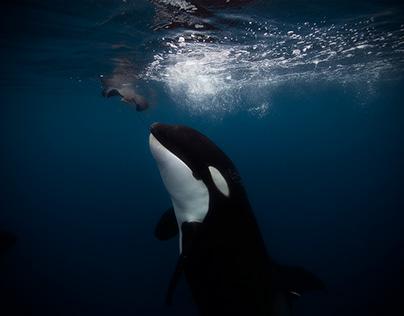 Orca Fever