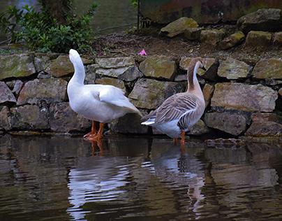 Capturing Ducks
