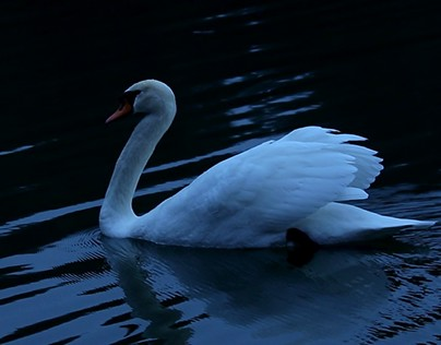 The Lonely Swan Finding Love