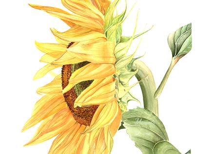 Girassol em Aquarela l Sunflower watercolor