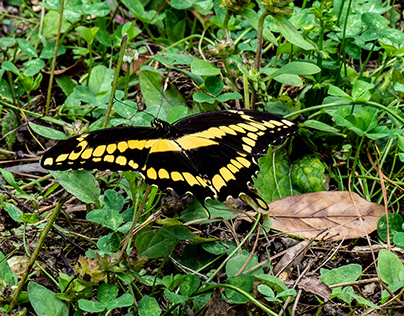 Giant Swallowtail Buttery