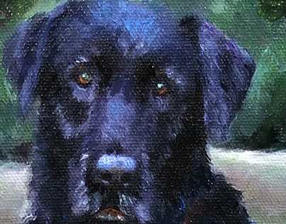 Black Labrador Portrait of Rem